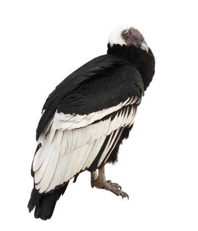 fulvus: Andean condor (Vultur gryphus).  Isolated over white background