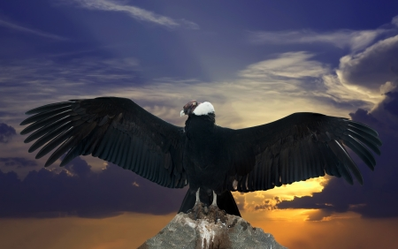 Andean condor on rock  against sunset sky background photo