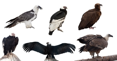 span: Set of vulture birds. Isolated over white background