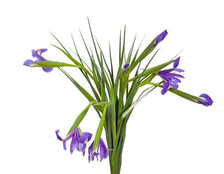 blueflag: ramo de iris. Aislado sobre fondo blanco