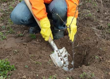 garth: Closeup of gardener planting the tree in spring