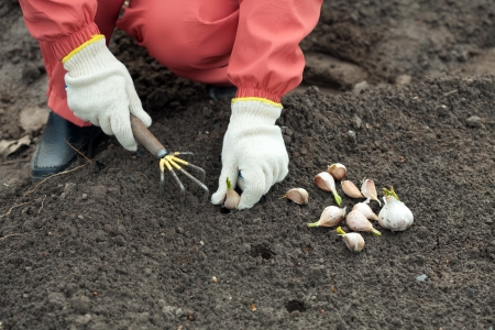 Closeup of  gardener sets garlic in soil at field photo