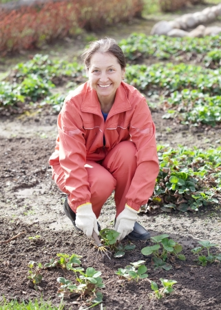 loosen: woman takes care of the beds of strawberries in the garden in spring Stock Photo
