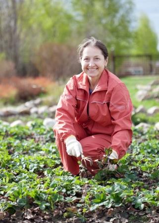 vrouw zorgt voor de bedden van aardbeien in de tuin in het voorjaar Stockfoto