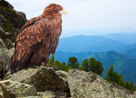 vigilant: eagle on rock against wildness background Stock Photo