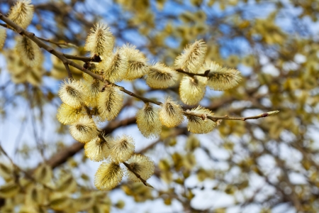 yellow willow branches in spring nature photo