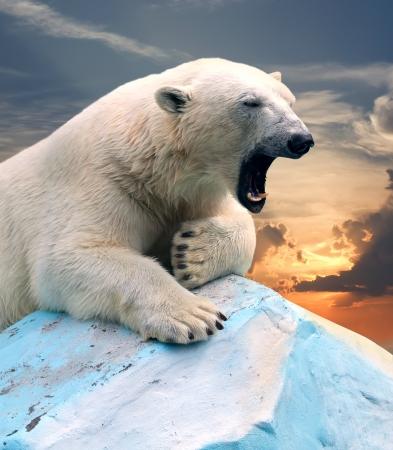 polar bear in wildness area against sunset Stock Photo