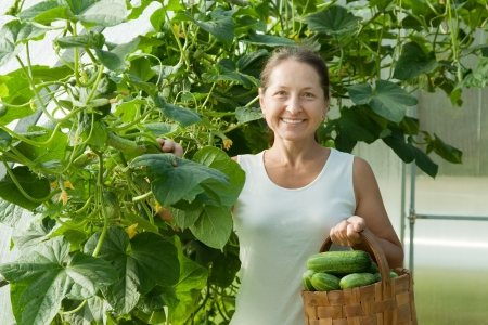 forcing bed: Smiling woman picking cucumber in the hothouse
