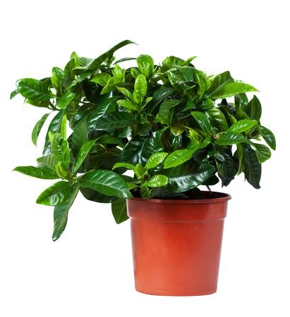 jessamine: Jasminoides Gardenia (comune gardenia, gelsomino o cape cape gelsomino) in vaso. Isolato su sfondo bianco Archivio Fotografico