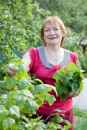 gathers: Donna matura che raccoglie le foglie di ribes nel giardino di primavera Archivio Fotografico
