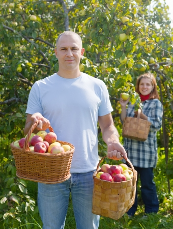 Man and woman picks apples in the orchard photo