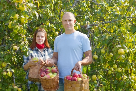 Happy  couple  with apple harvest in orchard photo