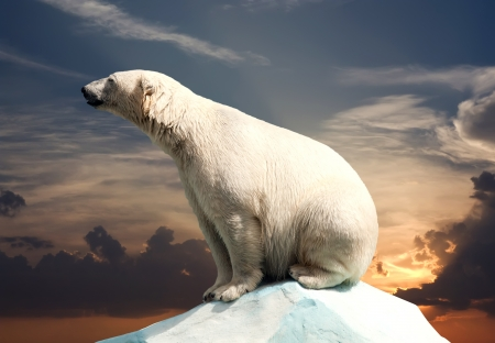wet bear: polar bear in wildness area against sunset Stock Photo