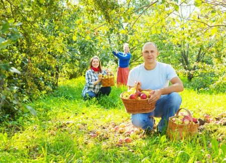gathers: Happy family gathers apples in the garden Stock Photo