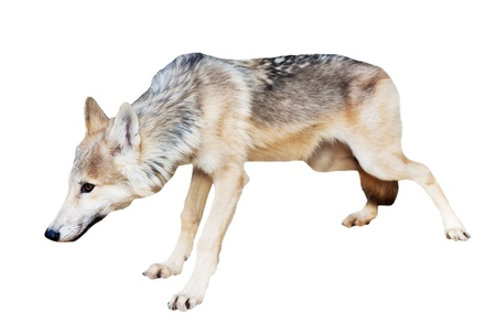 canis: Alaskan Tundra Wolf (Canis lupus tundrarum) standing over white background Stock Photo