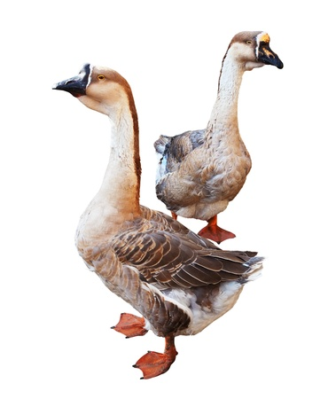Two Greylag Gooses.  Isolated over white background photo
