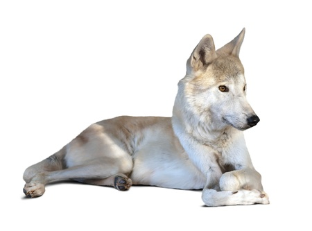 lying white wolf (canis lupus). Isolated over white background with shade photo