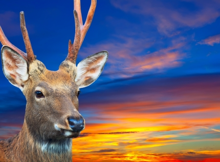 Head of Sika deer (Cervus nippon) against sunset sky photo