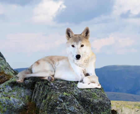 White wolf sits on rock in wildness area Stock Photo - 16563289