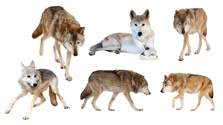 Set of six wolves. Isolated  on white background photo