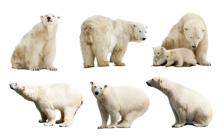 Set of polar bears. Isolated over white background with shade photo