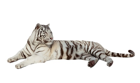catamountain: lying white tiger. Isolated  over white background with shade