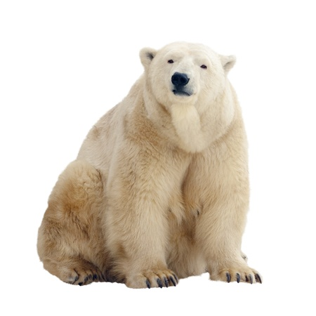 polar bear: Sitting polar bear. Isolated over white background
