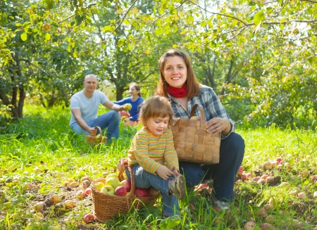 Happy family gathers apples in the garden Stock Photo - 16848536