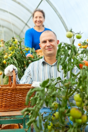 Woman and man picking tomato in greenhouse photo