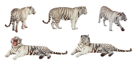 Set of white tiger. Isolated  over white background with shade photo