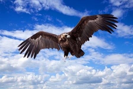 Flying black vulture  against sky background photo