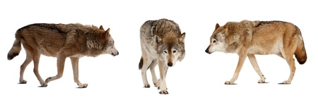 timber wolf: Set of few wolves. Isolated over white background with shade Stock Photo