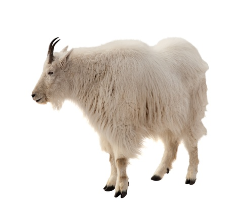 mountain goat: Rocky mountain goat (Oreamnos americanus). Isolated over white background