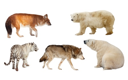 Set of Carnivora mammal. Isolated over white background  photo