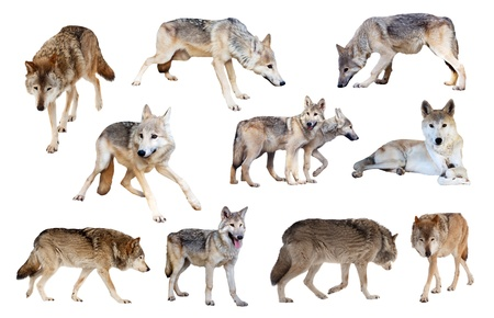untamed: Set of grey wolves. Isolated  over white background