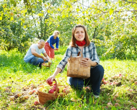 Happy  family picks apples in the orchard Stock Photo - 17181320