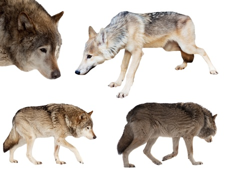 Set of few wolves over white background photo