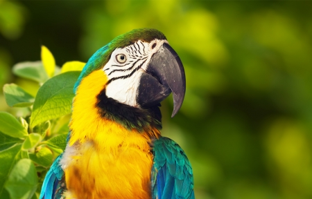 Closeup of Green-winged macaw  Ara chloropterus  in wildness
