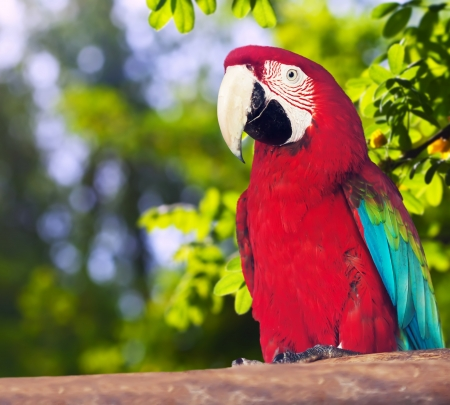 psittacidae: Portrait of Red-and-green Macaw  in forest area