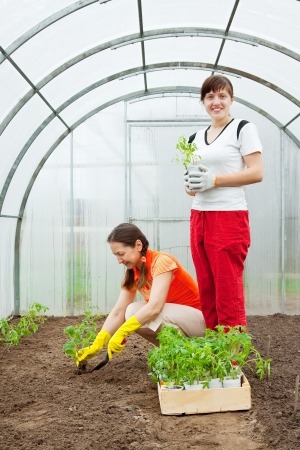 Two women planting tomato seedlings in greenhouse photo