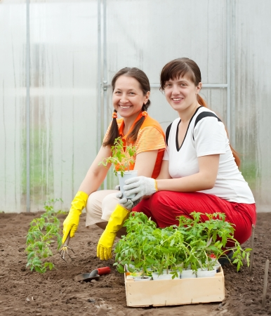 Two women planting tomato spouts in greenhouse photo