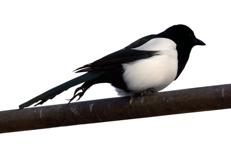 corvidae:  Eurasian Magpie (Pica pica).  Isolated over white background