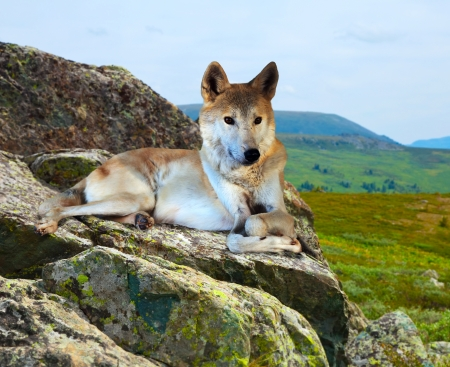 gray wolf: Gray wolf lays on stone in wildness area