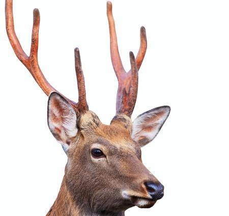 sika deer: Head of Sika deer (Cervus nippon) also known as the spotted deer or the Japanese deer