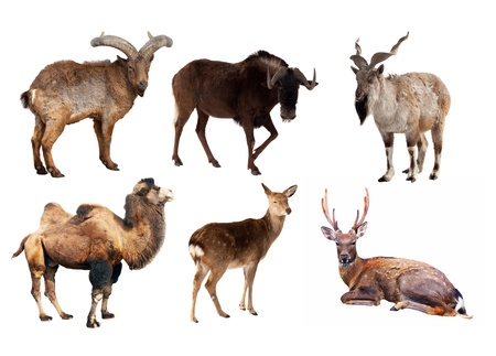 Set of Artiodactyla mammal animals. Isolated over white background  Stock Photo - 17509599