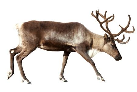 reindeer: Renna (Rangifer tarandus). Isolato su bianco