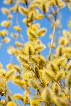 Blossoming spring willow twig with buds on blur background photo