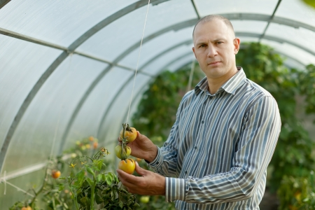 spalpeen: Male farmer looks tomatos plant in greenhouse Stock Photo