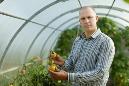 Mannelijke boer kijkt tomaten plant in de kas Stockfoto