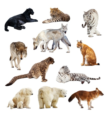 carnivora: Set of images of predators. Isolated over white background with shade